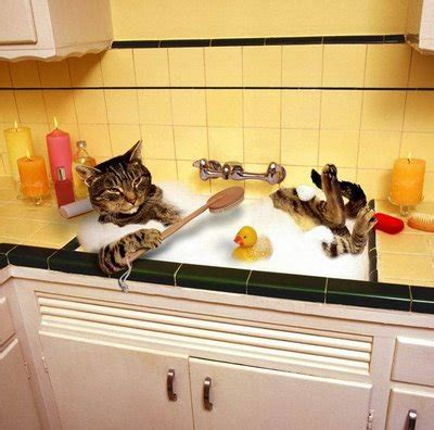 8 Tips On Bathing Your Feline by Cats And Kittens How To Bath A Cat Easily