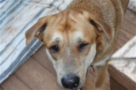 eye problems in dogs seasonal eye problem