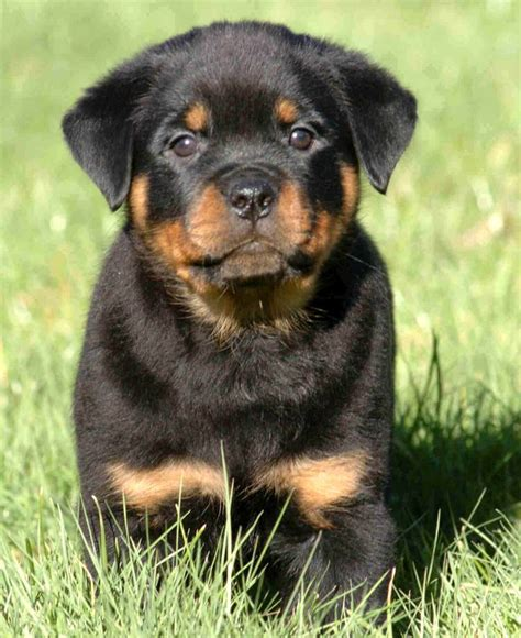 baby rottweilers for sale best 25 rottweiler puppies ideas on puppy breeds rottweiler and