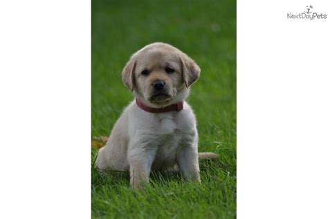 lab puppies for sale in wv labrador retriever for sale for 500 near northern panhandle west virginia 08b920b0