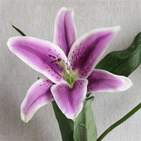 lilies or lillies the 25 best ideas about tiger flowers on