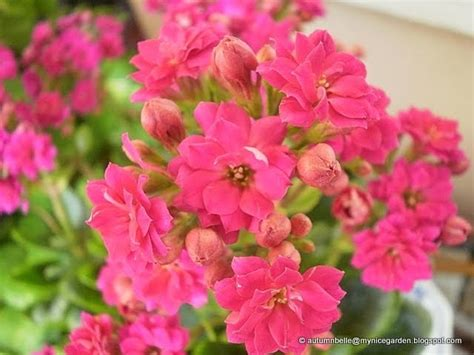 my tropical plants finder kalanchoe blossfeldiana