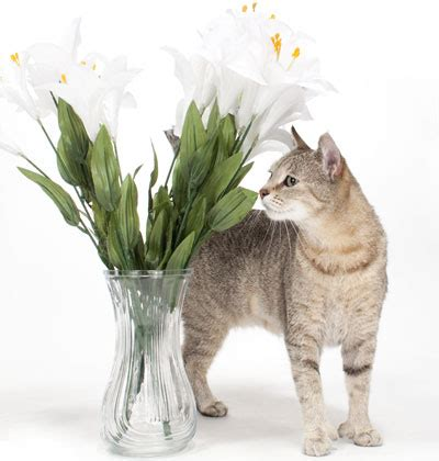 lily toxicity which lilies can kill your cat