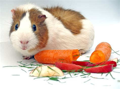 vegetables guinea pigs can eat what do guinea pigs eat guinea pig diet nutrition