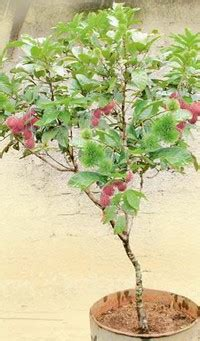 rambutan sarat buah meski dalam pot tanaman buah dalam pot
