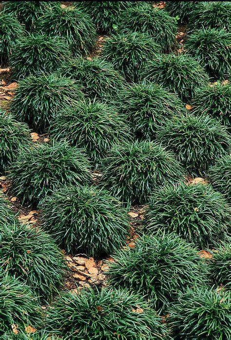 true green landscaping mondo grass ophiopogan japonicus true green nursery