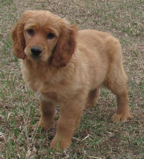 cocker spaniel golden retriever cross best 25 golden cocker retriever ideas on cocker spaniel mix golden