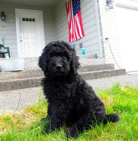 short haired labradoodle f1b black f1b goldendoodle from dreamydoodles com out in the
