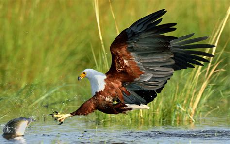 african fish eagle fishing  fish desktop wallpaper hd