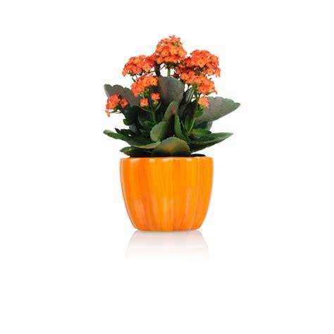 kleine zimmerpflanzen zimmerpflanzen g 252 nstig kaufen mein sch 246 ner garten