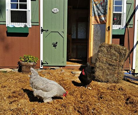 chicken coop bedding easy way to extend the life of your chicken coop bedding