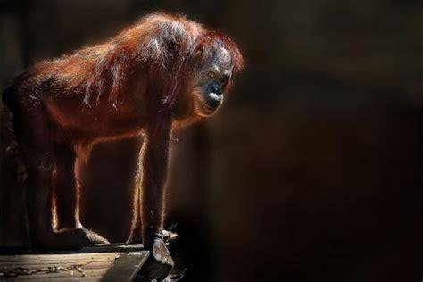wann h rt die pille auf zu wirken verhaltensforschung wann bei schimpansen die