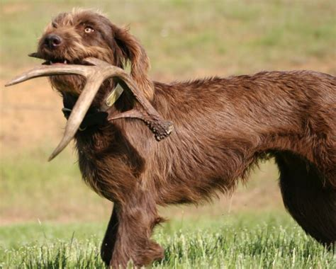 Do Pointers Shed by Quot Keeper Quot A Pudelpointer Shed Antler