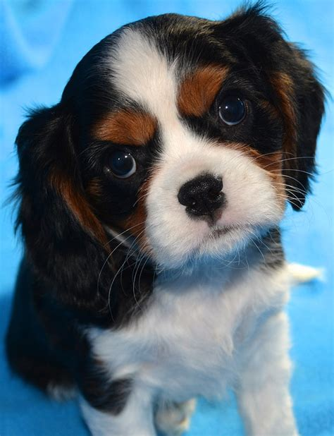 king cavalier spaniel puppy akc chion pedigree happy cavalier king charles spaniel