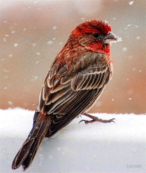 finch website 1000 ideas about finches on flycatchers bird