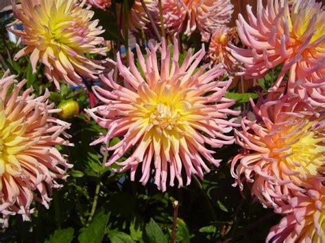 File Big Pink Garden Flowers Jpg Wikimedia Commons Images Garden Flowers