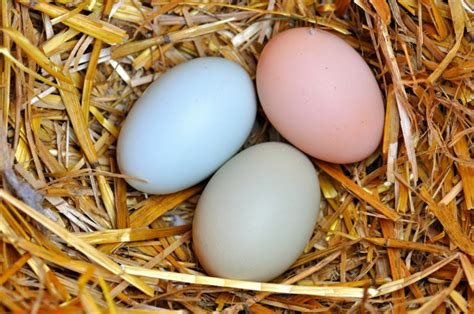 why are eggs different colors eggs galore why chicken eggs different colors the