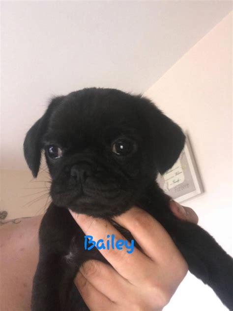pugs for sale in staffordshire 2 pugs for sale burton upon trent staffordshire pets4homes