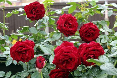 Garden Bunga Hias 5 step penting cara menanam bunga mawar tanaman magz