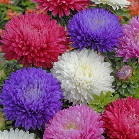 most popular flower top 10 most beautiful aster flowers yabibo com