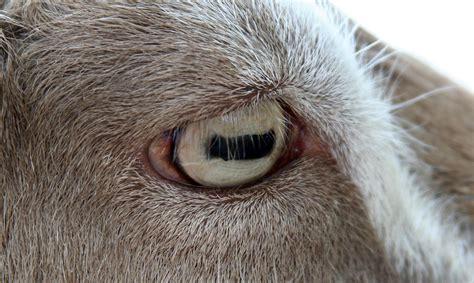 imagenes de unos ojos imagui 191 por qu 233 tienen las cabras unos ojos tan singulares