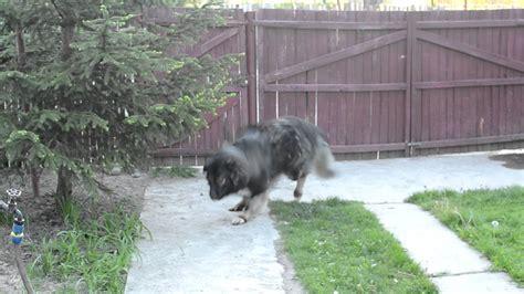haiduc ciobanesc romanesc carpatin carpathian shepherd dog youtube