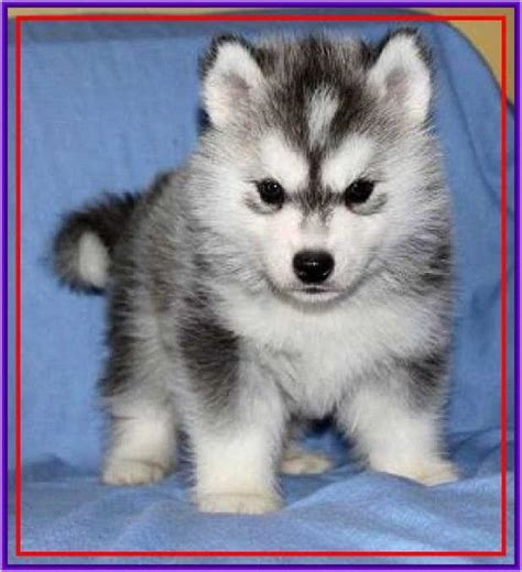 miniature husky puppies for sale permalink to siberian husky puppies for sale cleaning tips husky puppy