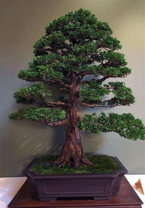chris baker hinoki cypress bonsai indoor bonsai tree