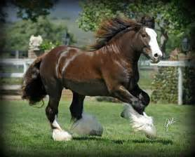 clydesdale horse horses black horses clydesdale horses