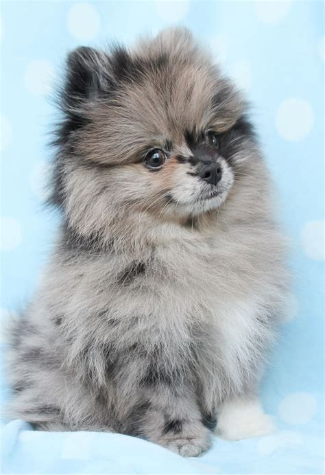 25 Best Ideas About Pomeranians On Teacup