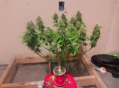 Grow Cup 16 oz cup contest page 188 the autoflower