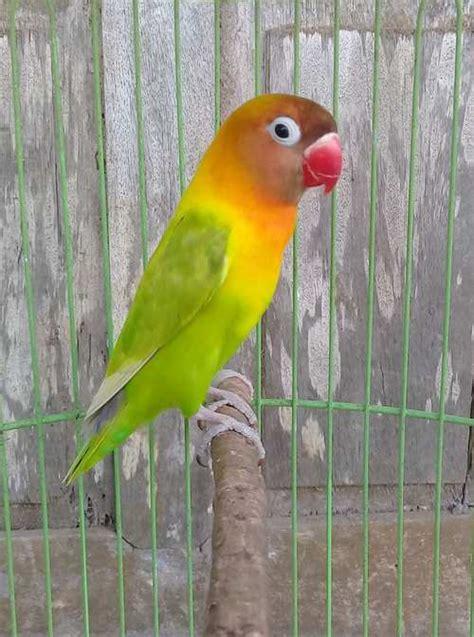 17 jenis warna lovebird dan kisaran harganya binatang peliharaan