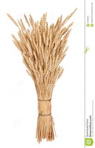 sheaf of wheat royalty free stock photography image