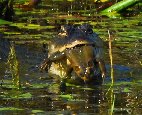 how did a frog get in my bathroom this toad in my mother in laws pond keeps eating birds wtf