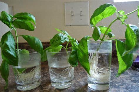 come seminare il basilico in vaso orto in vaso 10 verdure da ricreare in casa dissapore
