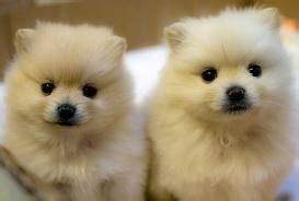 pomeranian puppy care guide important pointers on pomeranian puppies care kanineklub