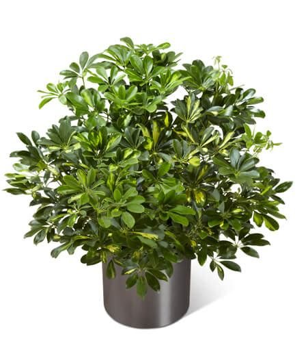 common house plants for funerals arboricola plant search results million gallery