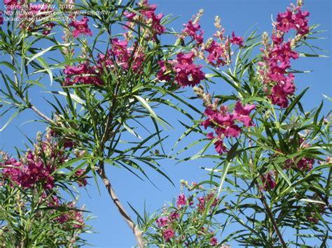 desert flowering shrubs desert willow chilopsis linearis flowering trees and
