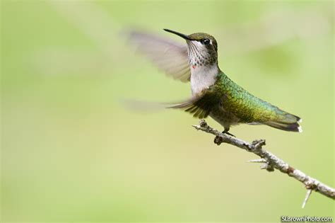 ruby throated hummingbird archilochus colubris birds