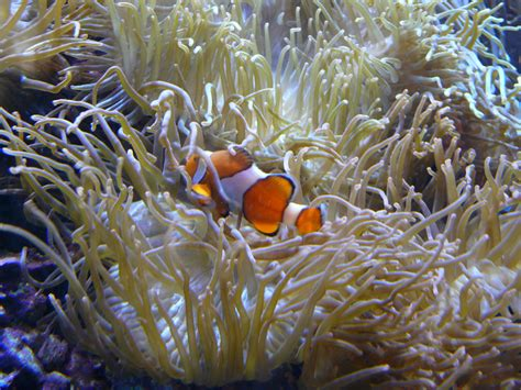 anemone eat clownfish clownfish and sea anemone