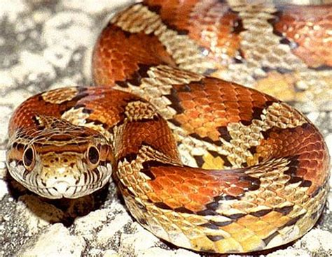 corn snake colors free snake free clip free clip on