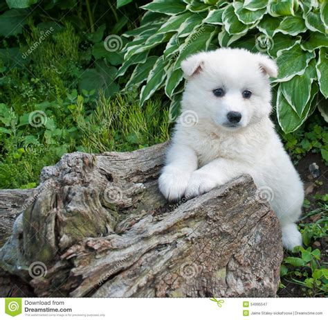 huskimo puppies huskimo puppy stock photo image 54995547