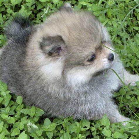 grey pomeranian grey pomeranian puppy photo jpg 1 comment