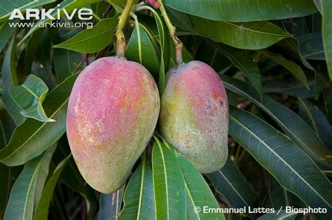 tree ripened fruit mango photos and facts mangifera indica arkive