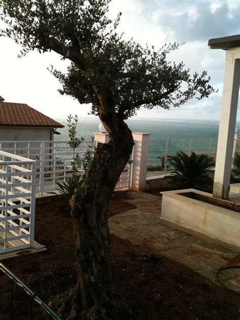 lapilli vulcanici per giardino ulivo come prendersi cura dell albero di ulivo in balcone