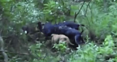 how does it take for puppies to open how many dogs does it take to corner a 130 pound boar wide open spaces