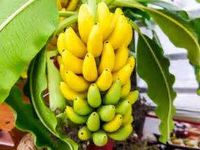 bananas on tree banana tree banana farming a lucrative agri business venture let s talk agric developing