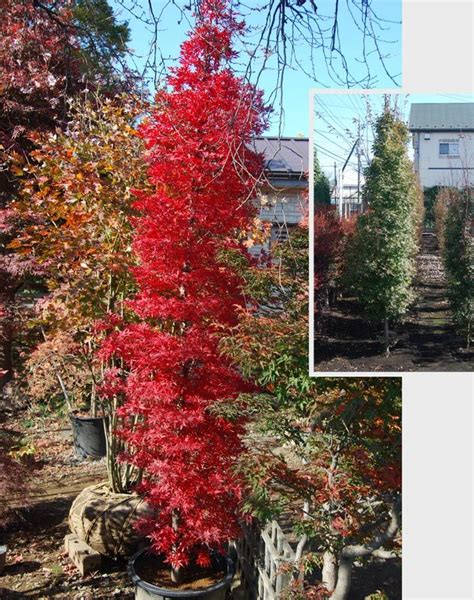 25 best ideas about evergreen the 25 best columnar trees ideas on