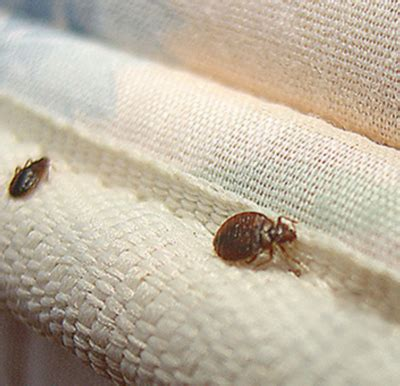 do bed bugs carry diseases what diseases do bed bugs carry 28 images what diseases do bed bugs carry 28