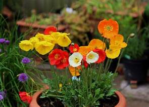 growing poppies in pots care how to grow poppies in containers balcony garden web